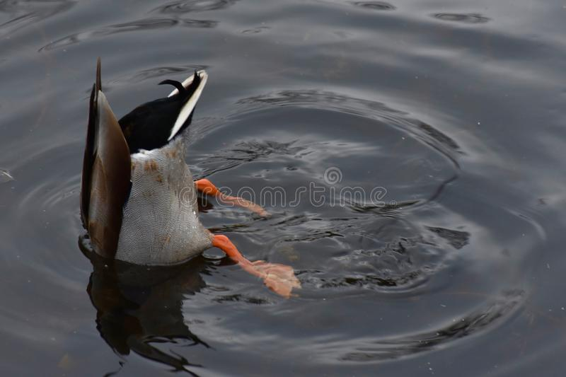 A mallard duck diving skilfully. Diving skilfully in search for food is a beautiful mallard duck found in a UK wildlife park stock image