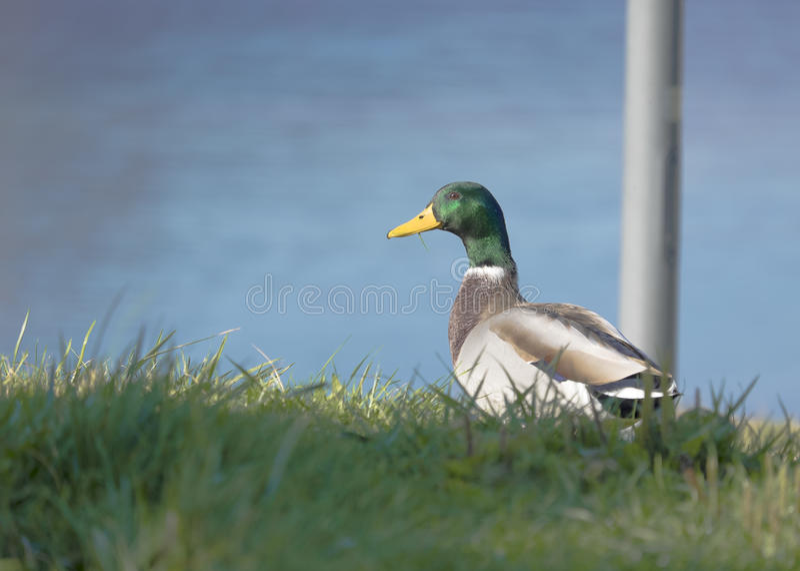 Mallard Duck Drake photographie stock