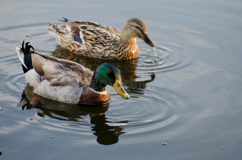 Mallard Duck Drake and Hen stock images