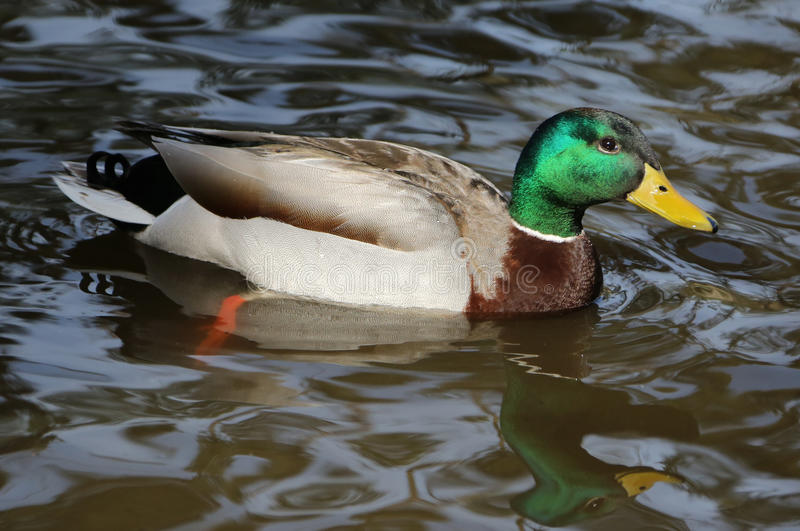Mallard Duck Drake stock photos