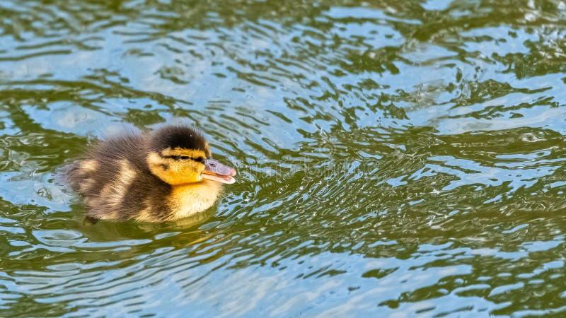 Mallard duck, duckling stock image
