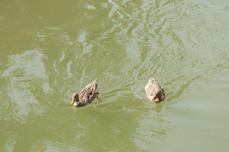 Mallard duck with ducklings swimming on lake. Surface stock image