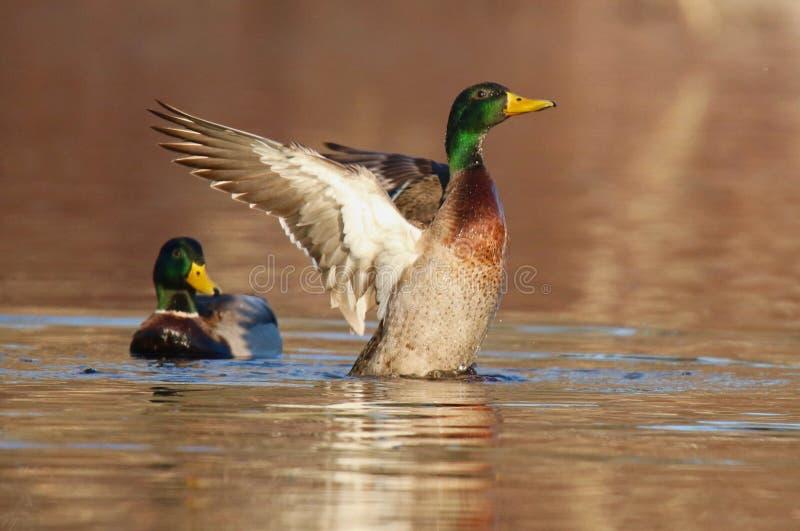 Mallard Duck Evening Wing Flap fotografia stock libera da diritti