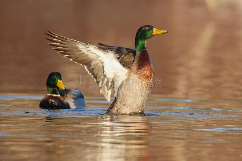 Mallard Duck Evening Wing Flap. A male mallard duck swimming on a pond and flapping his wings in the evening royalty free stock photo