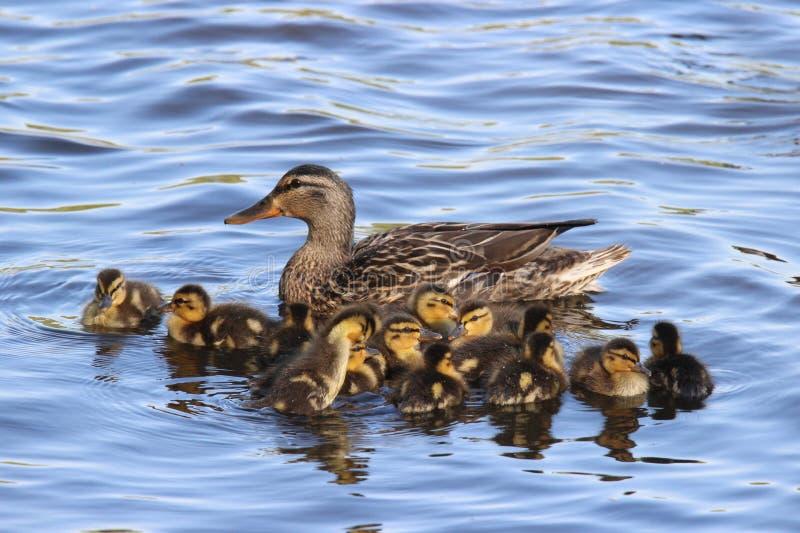 Mallard Duck Family Group fotografia stock libera da diritti