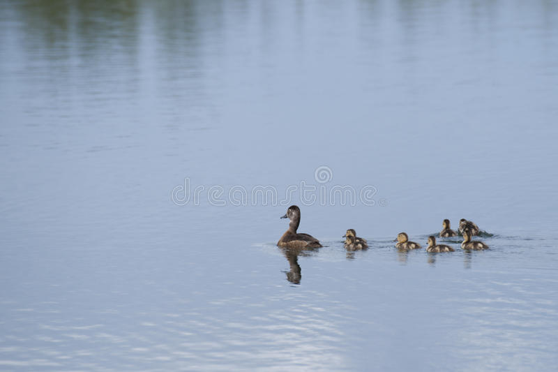 Download Mallard Duck Family stock photo. Image of duck, mallard - 56739804