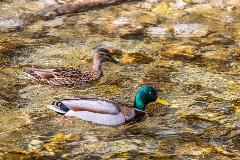 Mallard duck family in the river. Wildlife captured in Bohinj valley Slovenia stock photography