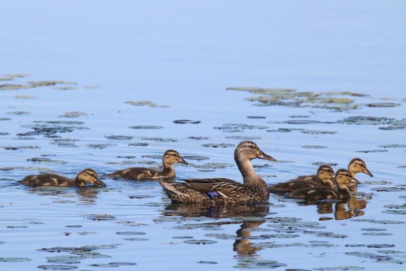 Mallard Duck Family Swim fotografia stock libera da diritti