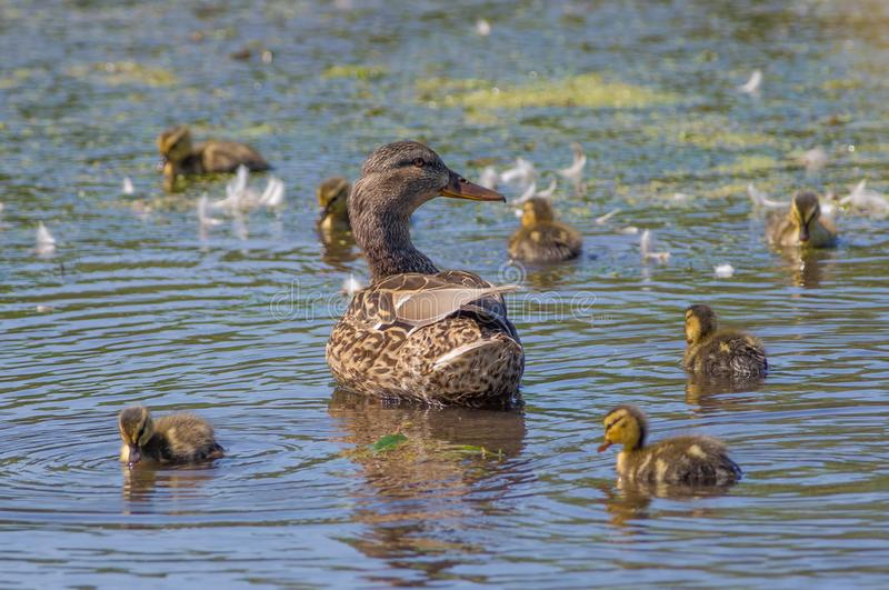 Mallard duck female and chicks in a wetland wildlife area in Minnesota in the Spring.  stock photography
