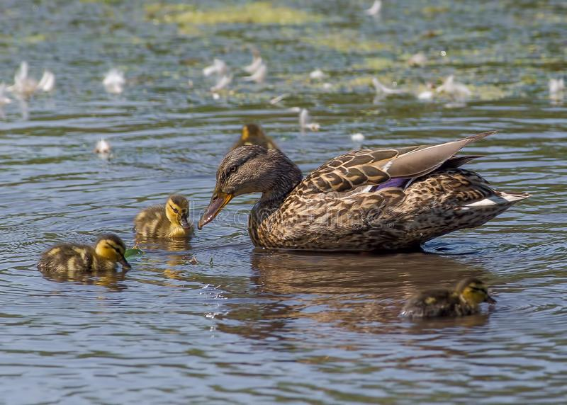 Mallard duck female and chicks in a wetland wildlife area in Minnesota in the Spring.  royalty free stock photography