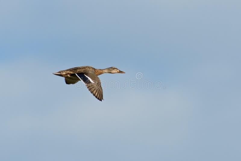 Mallard Duck in Flight royalty free stock image