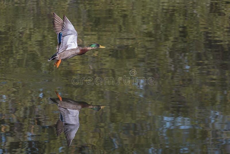 Mallard Duck In Flight royalty free stock photos