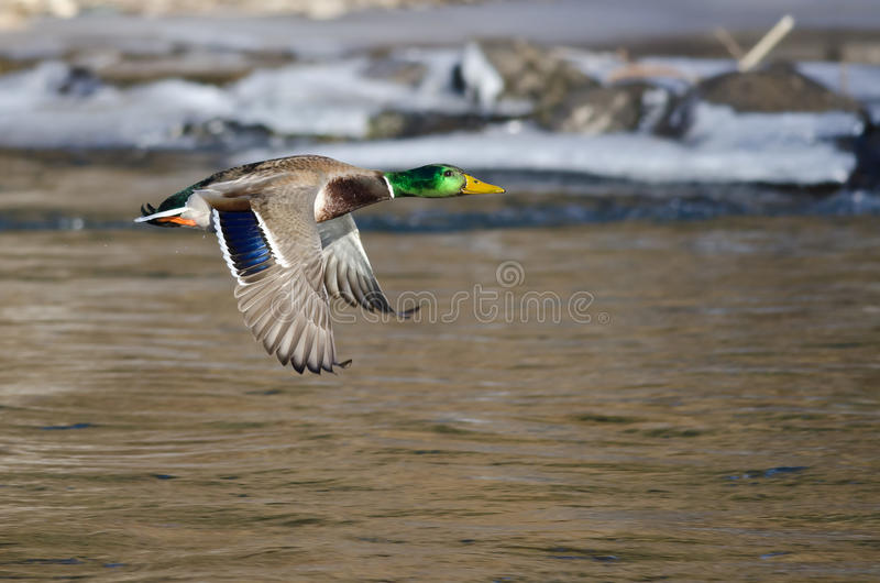 Mallard Duck Flying Over the Frozen Winter River. Male Mallard Duck Flying Over the Frozen Winter River royalty free stock images