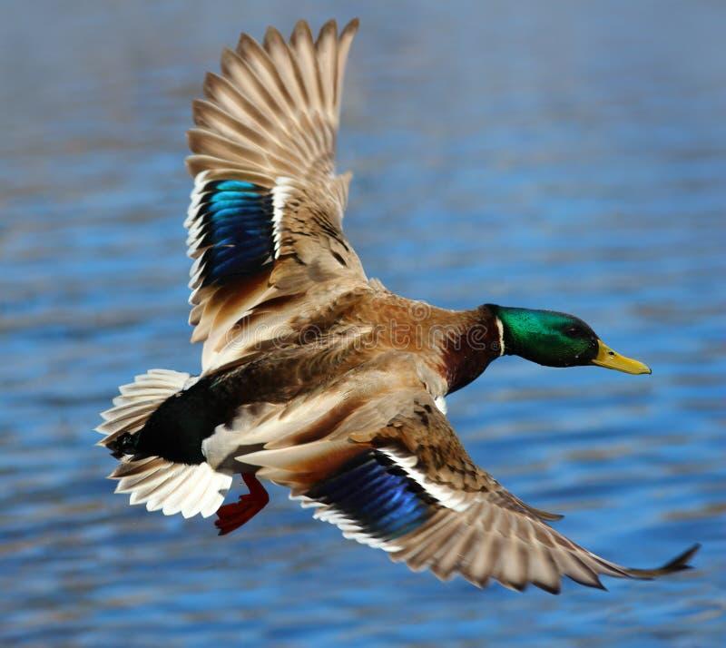 Male Mallard Duck Flying Over Water. A male mallard duck flying above the water