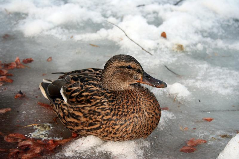 Mallard duck on a frozen pond. Bird from the family ducks of the Anseriformes royalty free stock photos