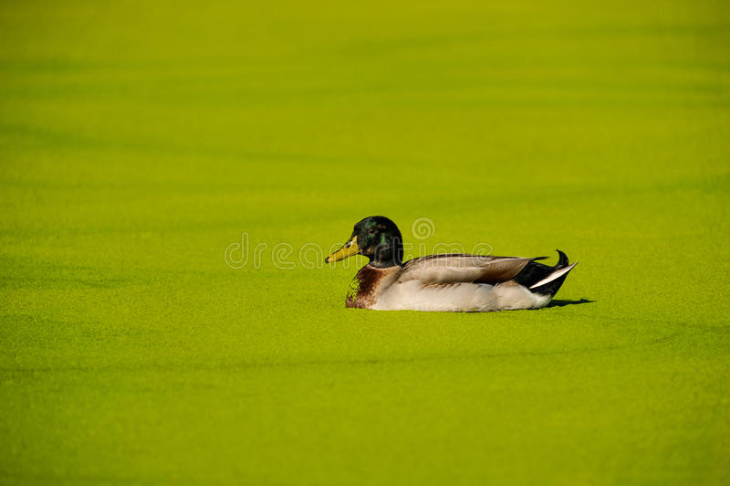 Mallard duck in a green algae pond stock images