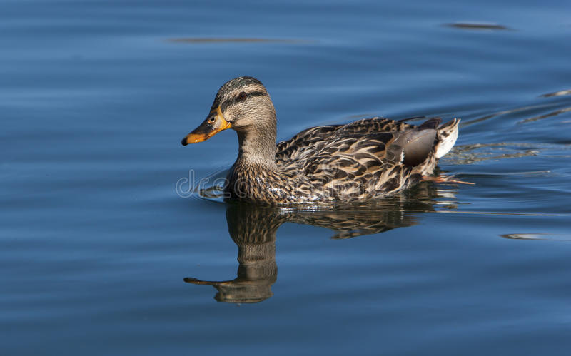 Mallard Duck Hen. A hen Mallard duck swimming on pond.The Mallard or Wild Duck (Anas platyrhynchos) is a dabbling duck which breeds throughout the temperate and royalty free stock photo