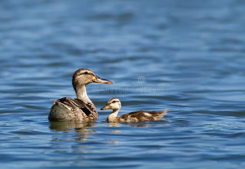 Mallard duck and her duckling stock photo