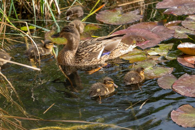 A mallard duck with his ducklings. View of a mallard duck with his ducklings stock images