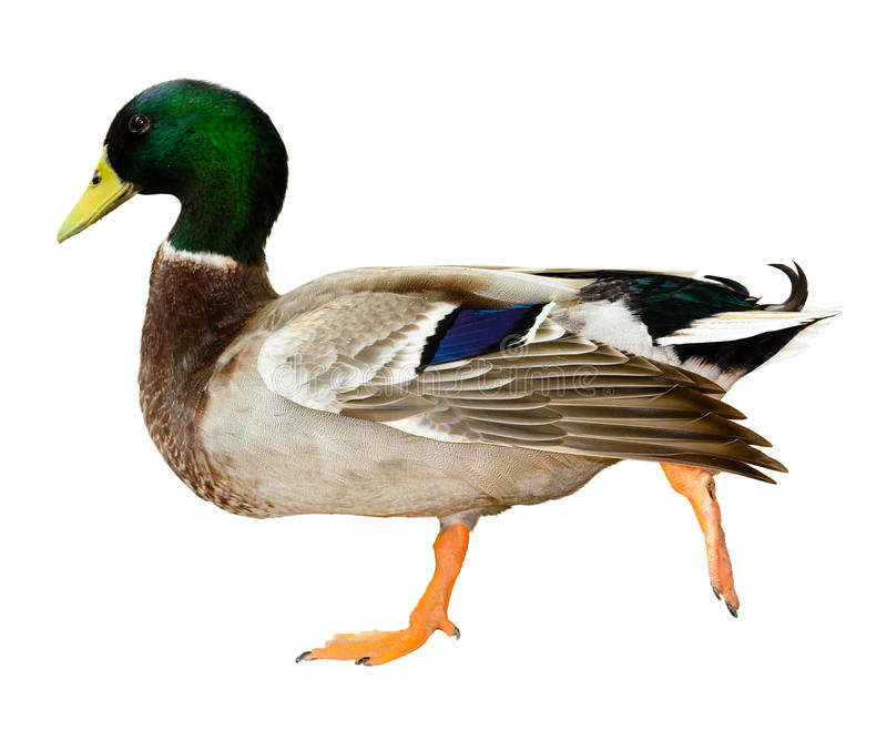 Mallard duck isolated royalty free stock image