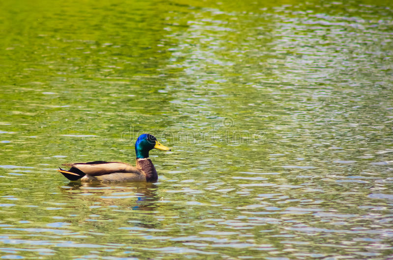 Download Mallard Duck On The Lake stock image. Image of natural - 29681403