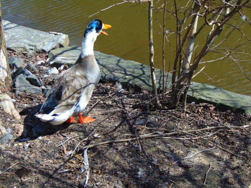 Mallard Duck Near The Water. Mallard duck on the bare ground with mouth open near the water; Cohanzick Zoo, Bridgeton, New Jersey; NJ Spring 2018 stock photos