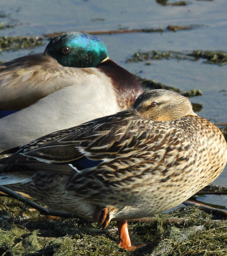 Download Mallard Duck Pair stock image. Image of iridescent, alert - 33017287