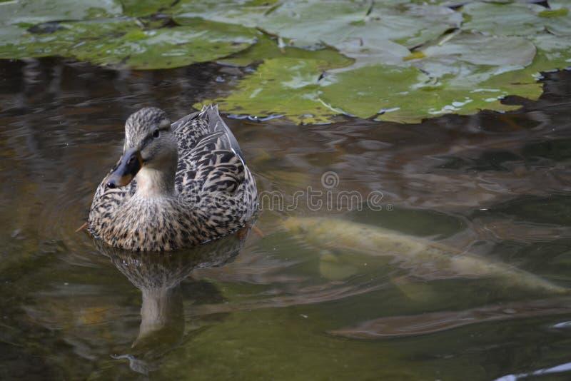Mallard Duck Pond photo stock
