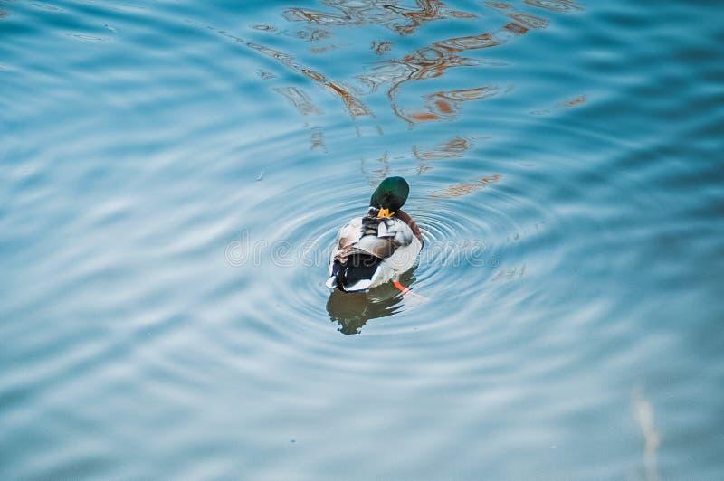 Mallard duck on pond royalty free stock photo