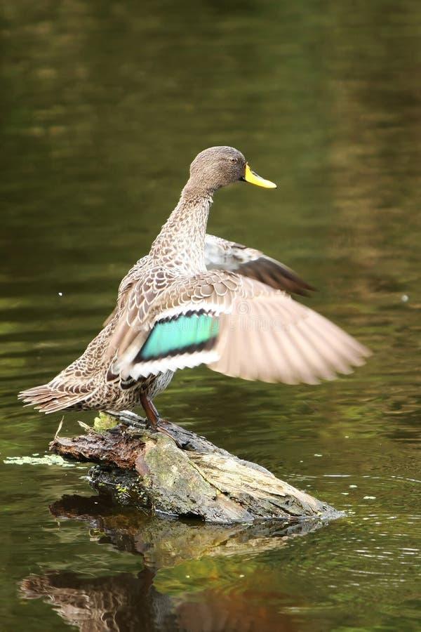 Mallard Duck Portrait royalty free stock photos