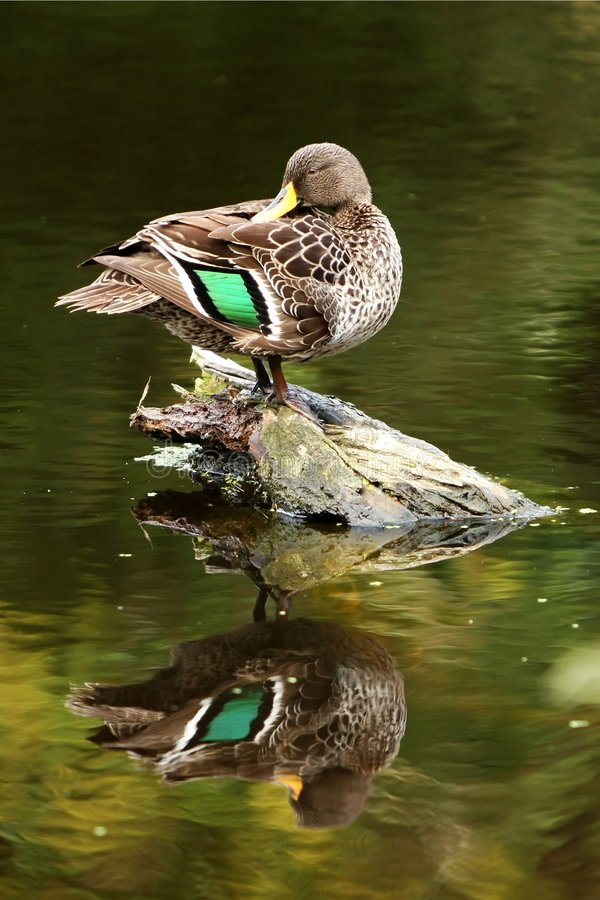 Free Mallard Duck Preening Stock Photo - 7732680