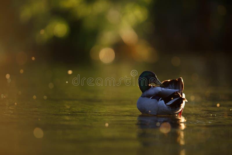 Mallard Duck Preening dans la lumière dramatique de soirée images libres de droits