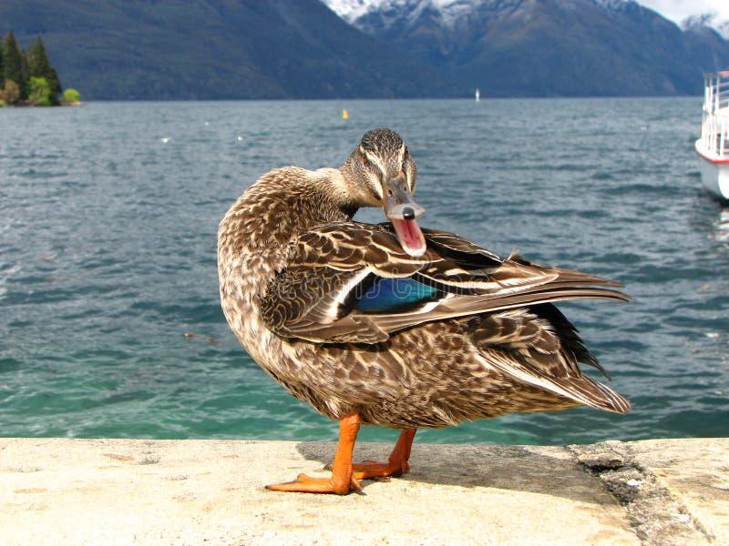 Mallard duck quacking stock images
