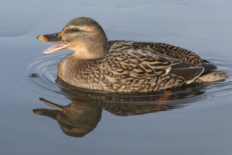 A mallard duck quacking royalty free stock photo