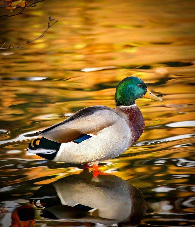 Golden Pond Stock Photo. Image Of Wings, Mallard, Bank