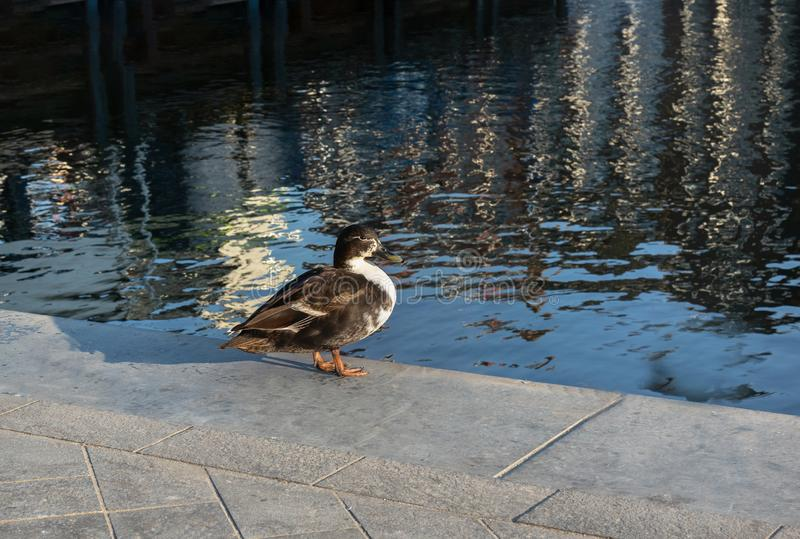 Mallard duck stands on  embankment and looks at the water royalty free stock photo