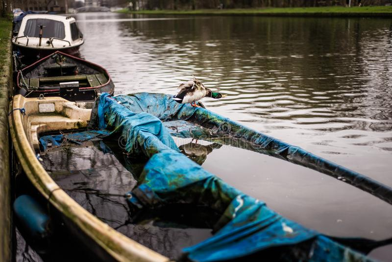 Mallard duck stands on a half sunk boat in an Amsterdam canal with his wings spread royalty free stock photo