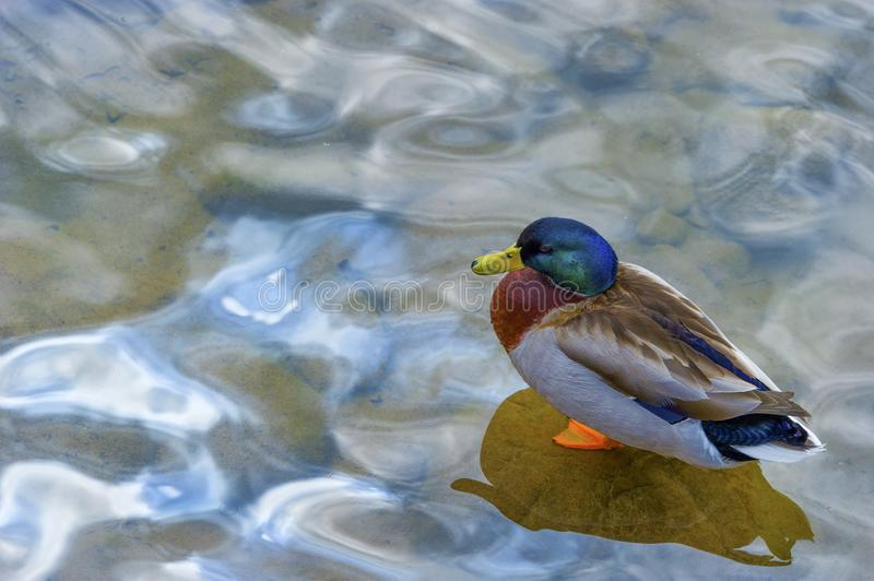 Mallard duck stands on a submerged rock at water`s edge royalty free stock images