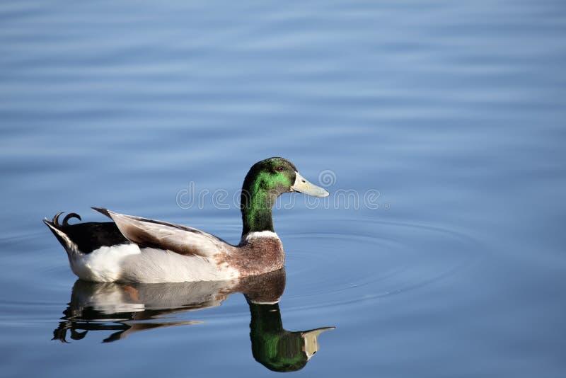 Mallard duck swimming stock image