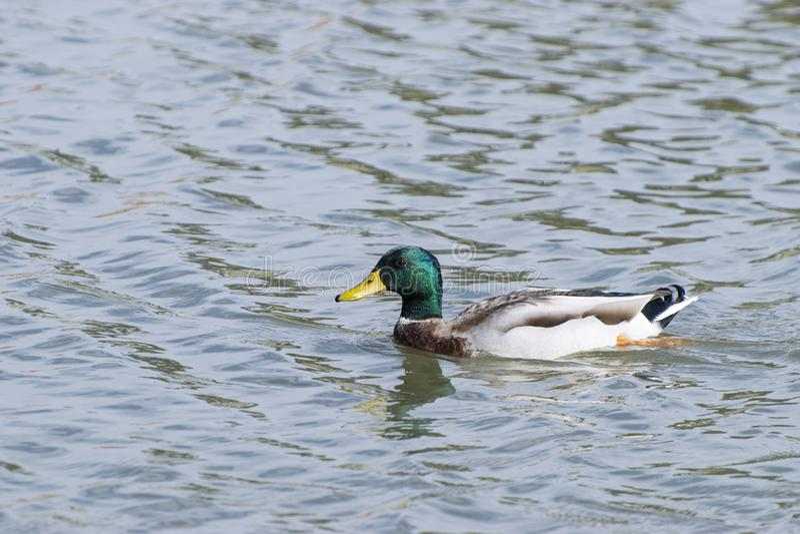 Mallard Duck swimming alone in lake royalty free stock photography