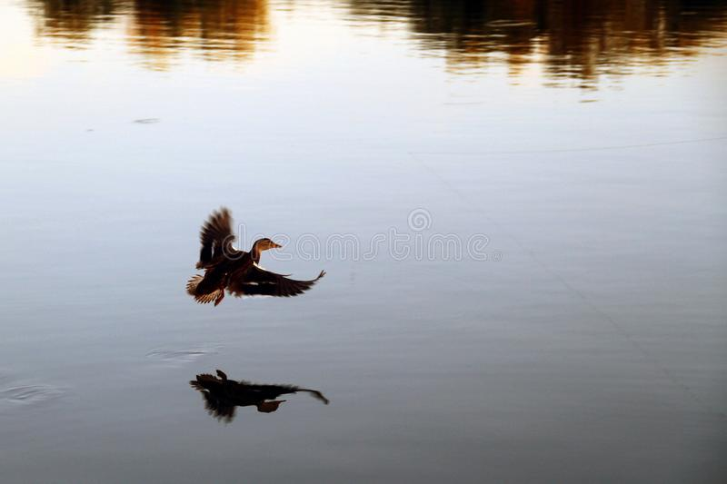 Mallard duck taking off from a lake.  royalty free stock photos