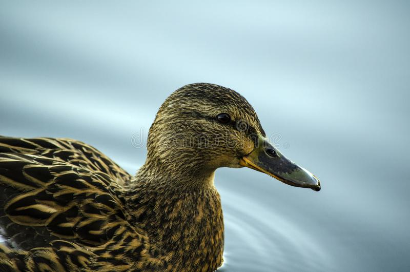 Mallard duck in the water royalty free stock photography