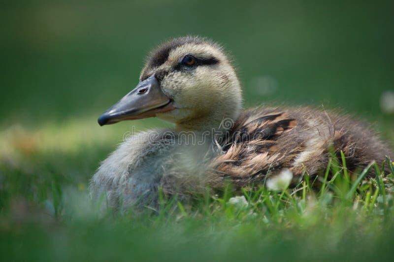 Mallard Duckling royalty free stock image