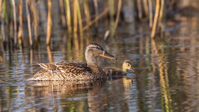 Mallard and Duckling stock image