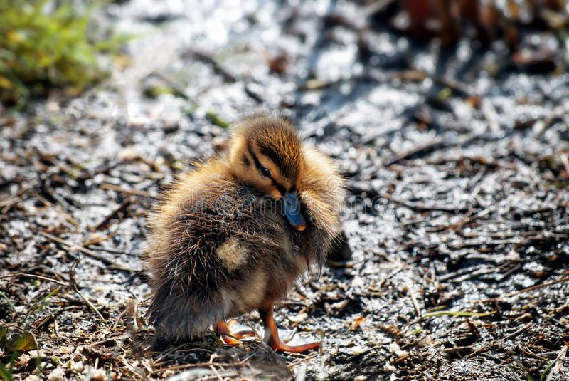 Mallard Duckling on Muddy Bank on Spring Day in April stock photography