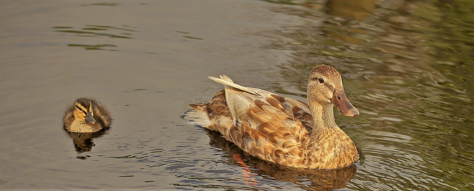 Mallard Duckling on the pond stock images