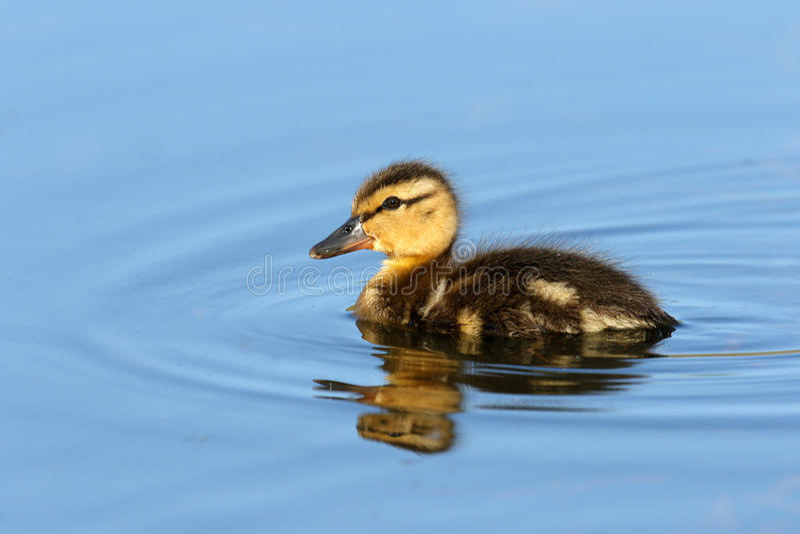 Mallard Duckling swimming in blue water, British Columbia, Canada stock photo