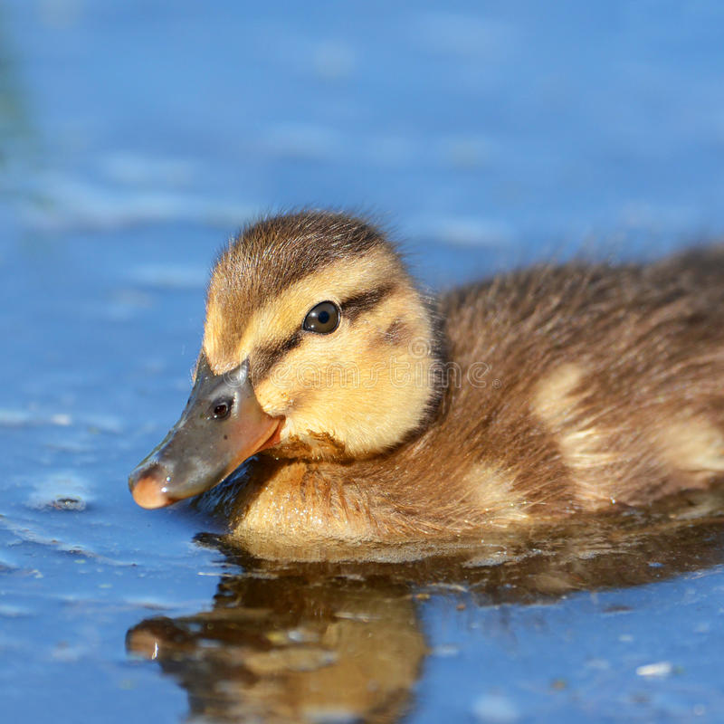 Mallard Duckling Swimming in a pond. Little mallard duckling swimming in a pond royalty free stock photography