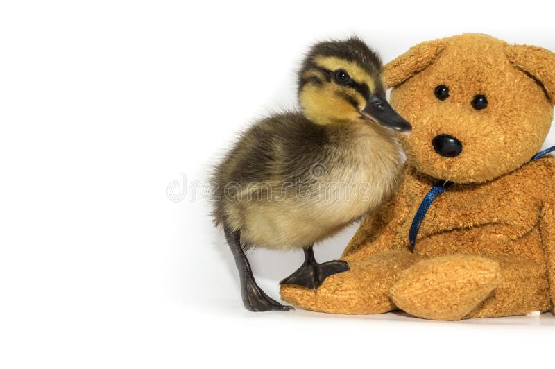 Mallard duckling with teddy bear on a white background. royalty free stock photography