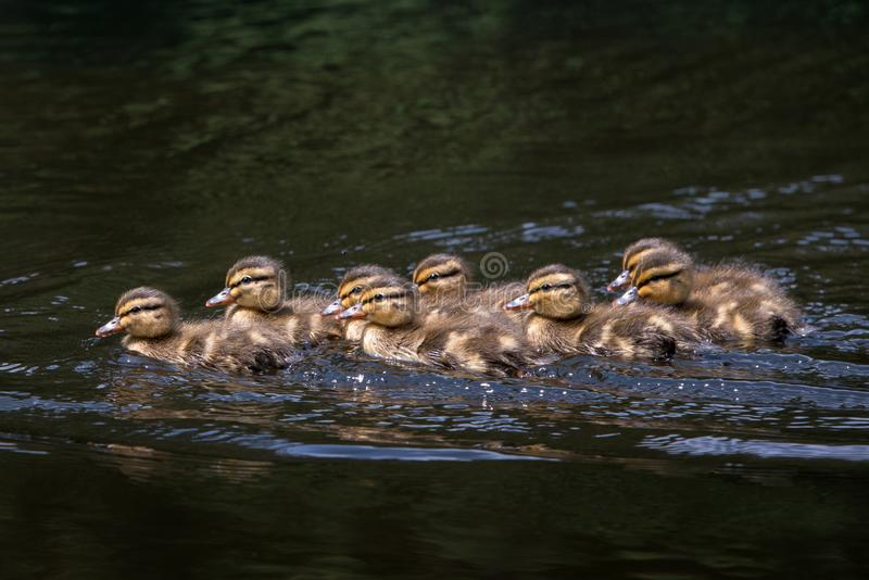 Mallard Ducklings Anas platyrhynchos num grupo imagem de stock royalty free